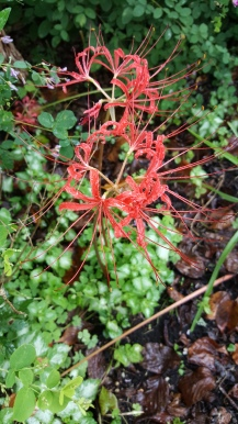 Spider lily.