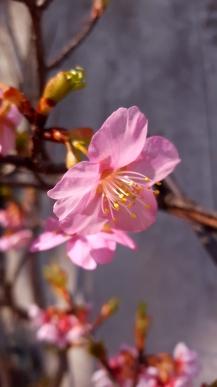 Cherry blossom.
